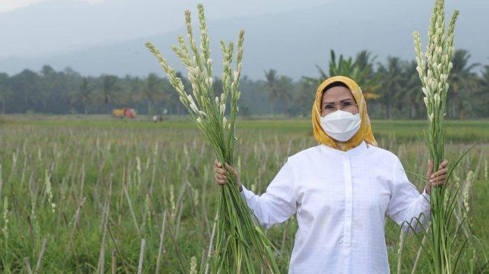 Bakal Jadi Agrowisata yang Terpadu dengan Anyer-Cinangka, Wisatawan Bisa Memetik Bunga Sedap Malam