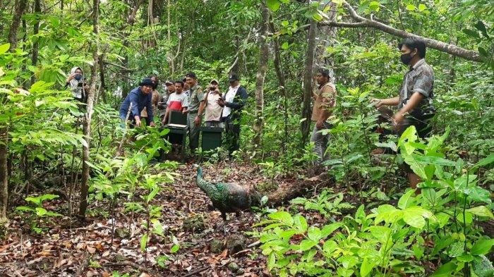 BKSDA Lepas Tiga Ekor Merak Hijau di Taman Nasional Ujung Kulon