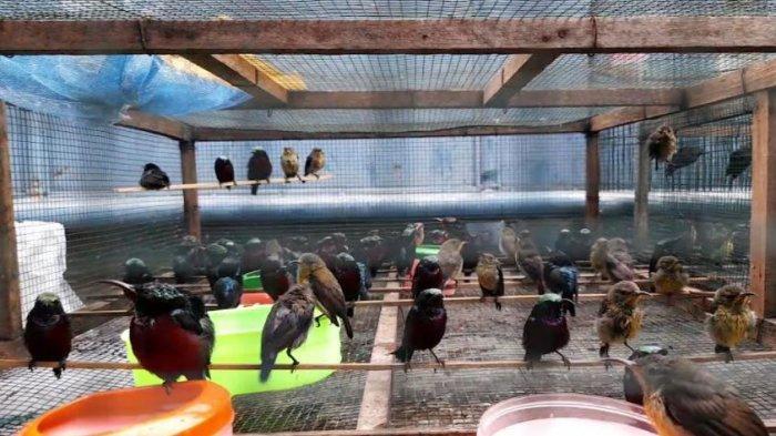 Omzet Sempat Menurun Hingga 70 Persen, Kini Pedagang Burung Di Kota Serang Kembali Normal