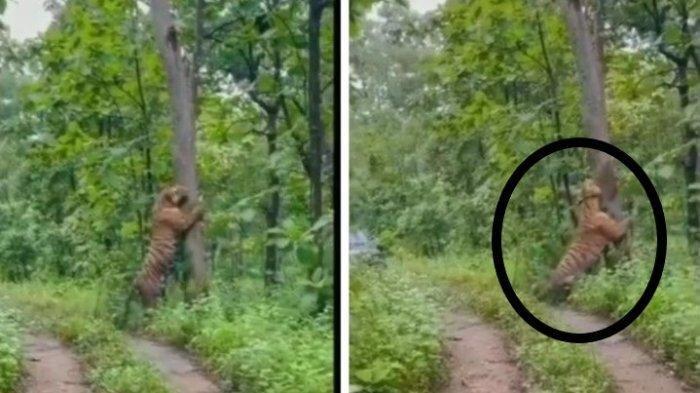 Fakta Kemunculan Harimau Besar di Hutan Kampung Grobogan, Videonya Sempat Dipertanyakan Warganet
