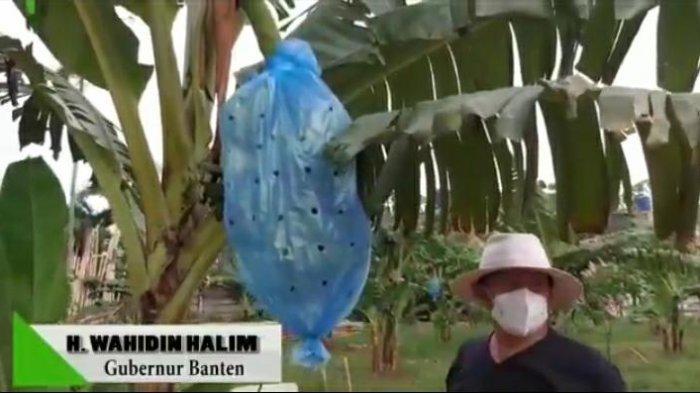Begini Gaya Gubernur Banten Wahidin Halim saat Mengecek 600 Pohon Pisangnya yang Sudah Berbuah
