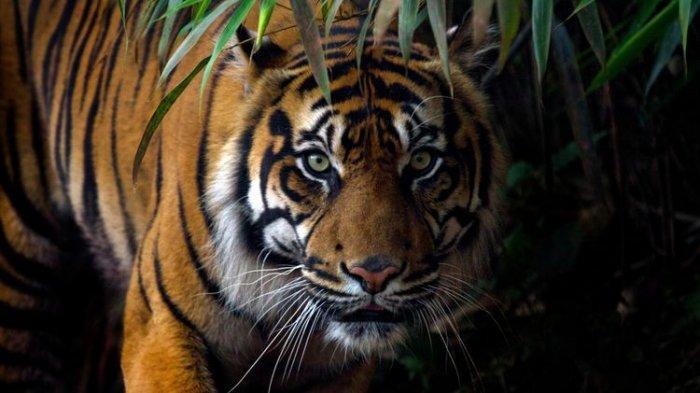 Harimau Sumatera Ditemukan Mati oleh Warga Lalu Dikubur dengan Cara Dicor Semen, Ini Tujuannya