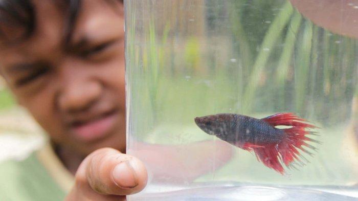 Cara Memelihara dan Merawat Ikan Cupang, Berikut ini Saran dari Penjual di Taman Sari Kota Serang