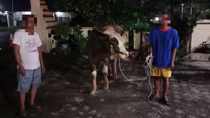 Pelaku Pencurian Hewan Ternak di Kota Serang Ditangkap, Sapi Seharga Rp 30 Juta Selamat