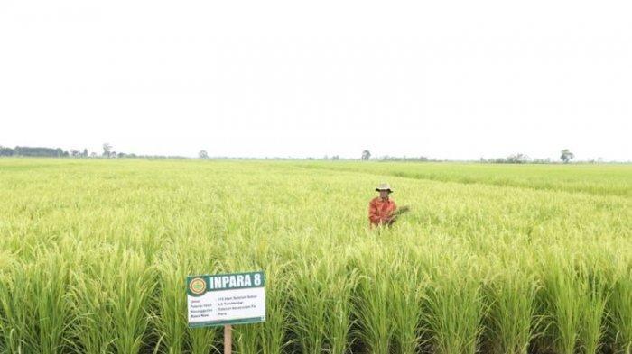 Mengenal Beras Kewal dan Gadung, Makanan Pokok Ciri Khas Kabupaten Serang untuk Ketahanan Pangan