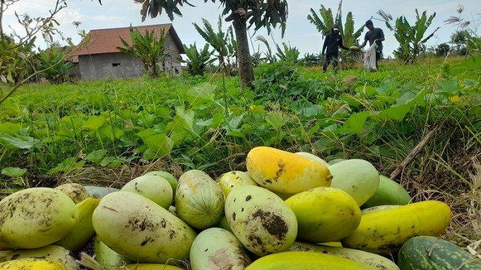 Melihat Kebun Timun Suri di Kampung Cangkring Serang, Permintaan Meningkat Selama Bulan Ramadan