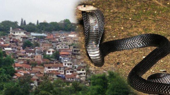 Geger! Ular King Cobra Sepanjang 2 Meter Masuk Kamar Mandi Mess Karyawan di Cilegon
