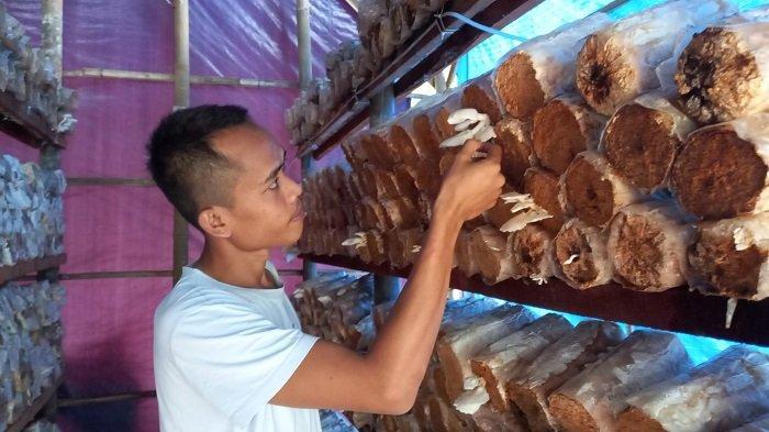 Tips Budidaya Jamur Tiram, Tangan Harus Steril Saat Menaruh Bibit