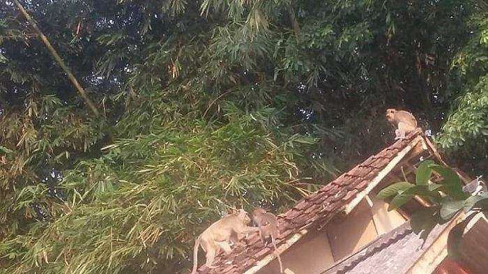 Kawanan Monyet Liar Masuk Pemukiman Warga Maja, Rusak Rumah Hingga Gigit Anak