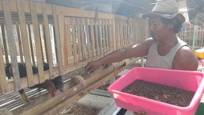 Usaha Cacing Sutra Kandas, Hakimi Berhasil Membudidaya Maggot BSF Secara Otodidak
