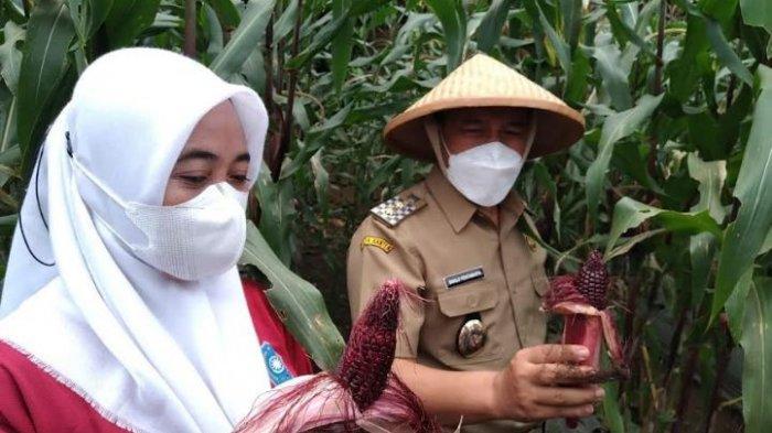Sanuji Panen Jagung Ungu di Gerogol, Puji Masyarakat Cilegon Bisa Tetap Bertani di Lahan Terbatas