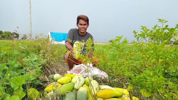 Jahrudin memanen timun suri dari ladangnya di Kampung Cangkring, Kelurahan Sawah Luhur, Kecamaran Kasemen, Kota Serang, Banten, Selasa (13/4/2021).
