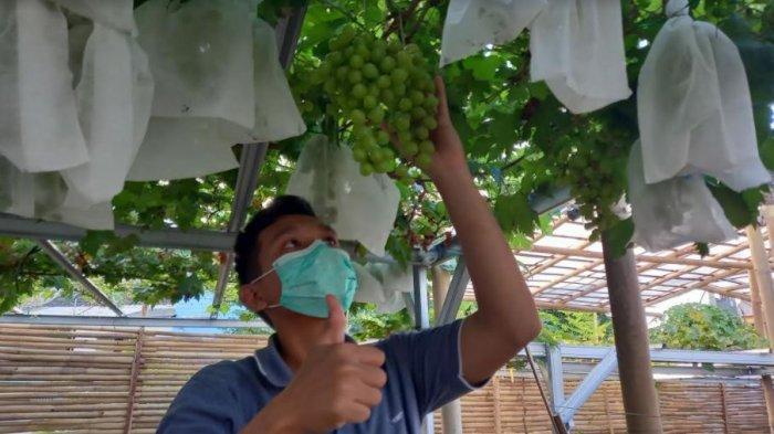 Sempat Diremehkan, Panji Sukses Budidaya Bibit Anggur dan Raup Untung Hingga Rp 12 Juta Per Bulan