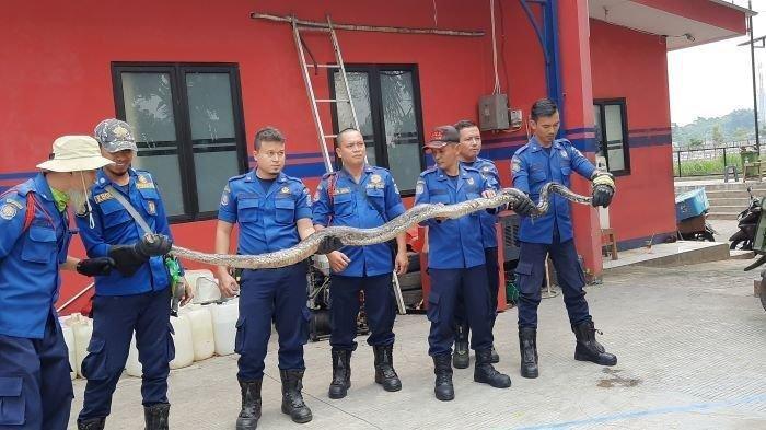Penampakan Ular Piton Sepanjang 3,5 Meter yang Dievakuasi Petugas di BSD Tangsel