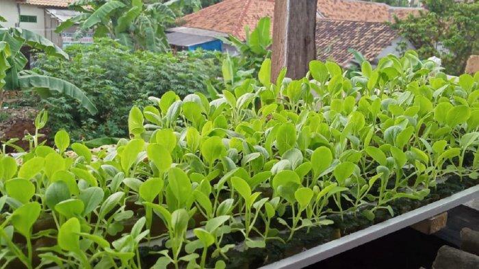 Cegah Stunting, DKPP Kabupaten Serang Dorong Warga Menanam Sayuran di Pekarangan Rumah