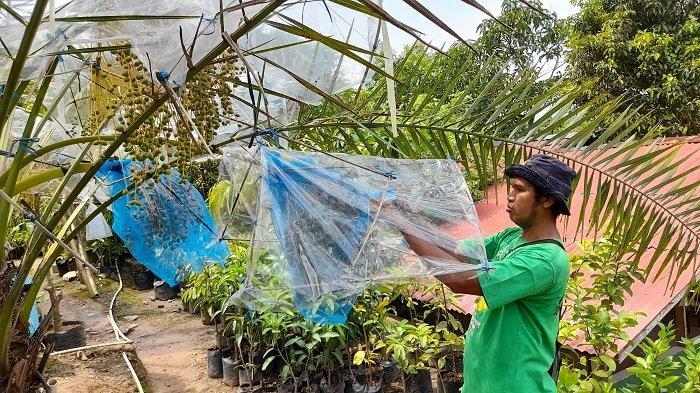Perkebunan agrowisata Waras Farm, Cikerai, Kecamatan Cibeber, Kota Cilegon, Banten, Minggu (18/4/2021). Ada banyak jenis pohon kurma di perkebunan tersebut.