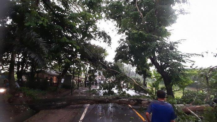 Tiba-tiba Suara Gemuruh Terdengar, Pohon Tumbang di Rangkasbitung, Timpa Satu Pengendara Motor
