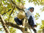 bupati-lebak-iti-octavia-memanjat-pohon-durian.jpg