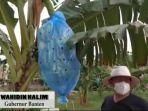 gubernur-banten-wahidin-halim-saat-mengecek-600-pohon-pisang.jpg