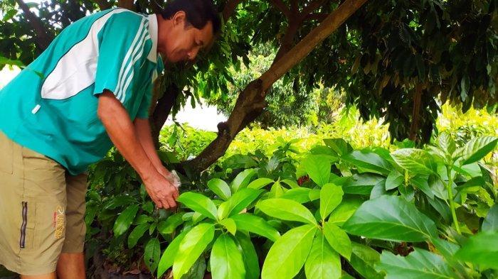 Kisah Sukses Mantan Carik di Mojorejo Karanganyar, Pekarangan Rumah Jadi Kebun Alpukat Gading