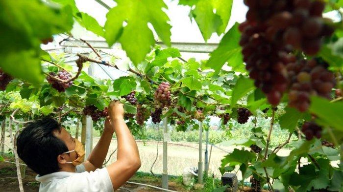 Cari Varietas Anggur yang Cocok di Banyumas, Selama 15 Hari Faiz Hidayat Belajar di Ukraina