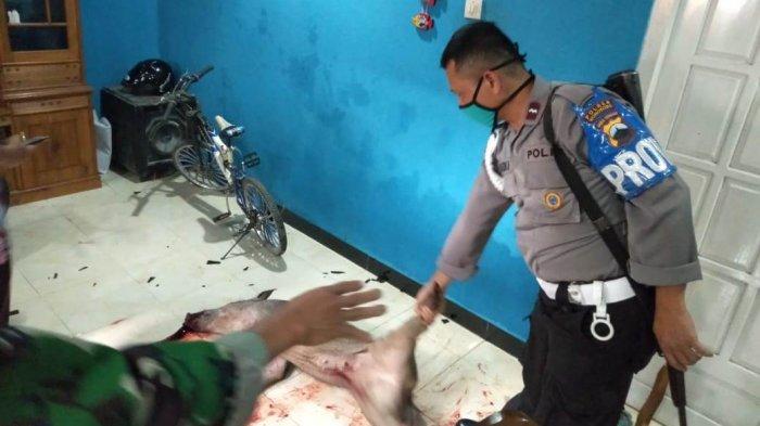 Dor! Satu Tembakan Polisi Lumpuhkan Celeng yang Mengamuk, Masuk Rumah di Garung Wonosobo