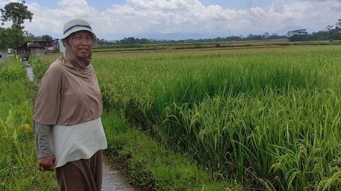 Saat Harga Gabah Anjlok, Petani di Banjarnegara Ini Bisa Jual Beras Rp 25 Ribu/Kg. Ini Rahasianya