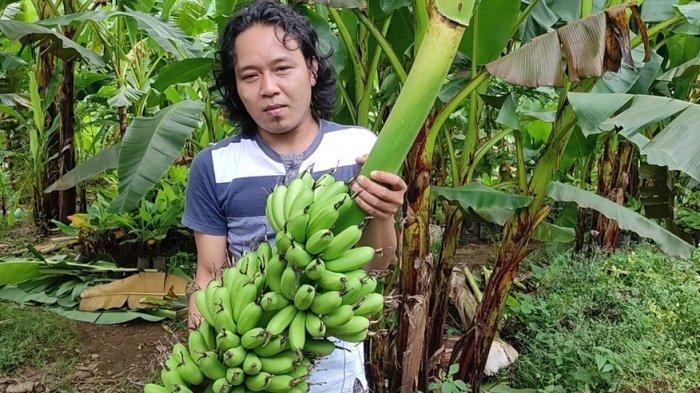 Mengupas Manisnya Bisnis Pisang Kirana di Banjarnegara, Contoh yang Dirasakan Solihin dan Irhamto