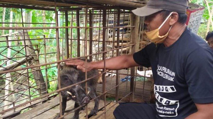 Heboh Babi Hutan Aneh Milik Pak Bawor di Jatilawang Banyumas, Ini Penjelasan BKSDA