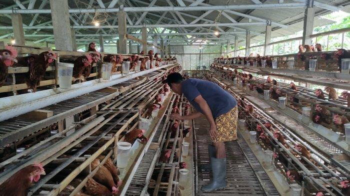 Suparyo Kini Bernapas Lega, Harga Telur Mulai Merangkak Naik, Jelang Imlek di Banjarnegara