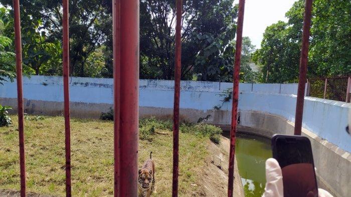 Begini Cara Harimau Sumatera Menyapa Pengunjung TSTJ Solo, Siaran Virtual Selama 30 Menit