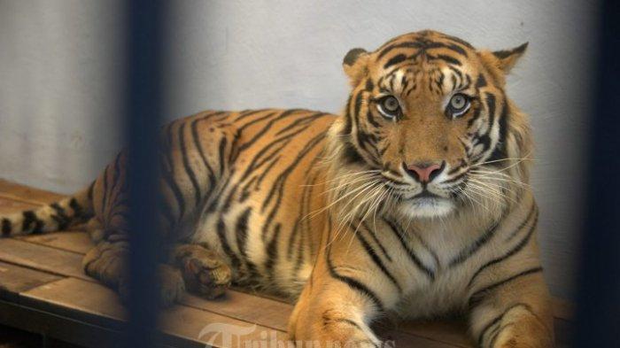 2 Harimau Sinka Zoo Lepas, Serang Pawang saat Dihalau agar Tak Keluar Kandang