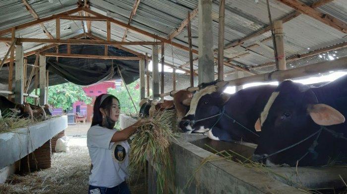 Cabang Dinas ESDM Serayu Selatan Dorong Peternak di Banjarnegara Olah Kotoran Sapi sebagai Biogas