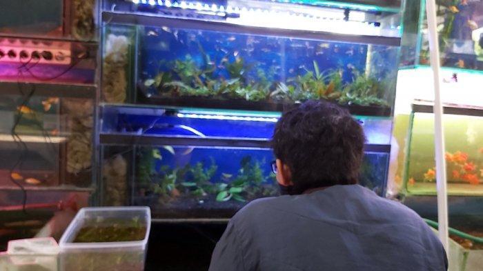 Selain Cupang, Ini Ikan Hias Laris Manis di Kota Tegal, Harga Tiap Ekor Capai Rp 10 Ribu
