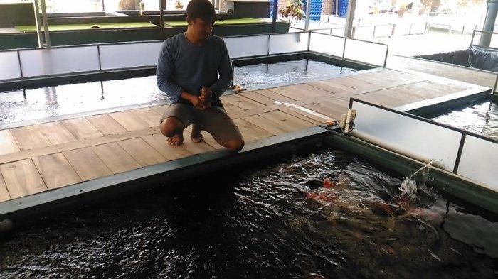 Cerita Sukses Eko Berbisnis Ikan Koi di Gumiwang Banjarnegara, Harganya Ada yang Rp 15 Juta