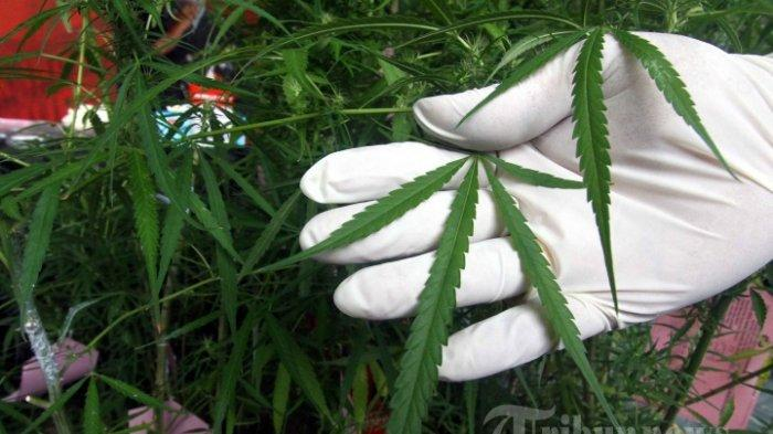 Polisi Tangkap Warga Bongkok Tegal, Temukan 4 Pot Tanaman Ganja Disimpan di Kamar