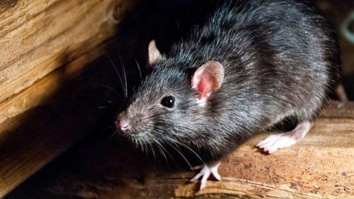 Gara-gara Serangan Tikus, Ratusan Narapidana di Penjara Australia Dievakuasi