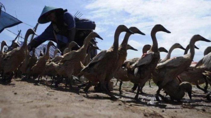 Puluhan Bebek dan Entok di Kayugeritan Pekalongan Mati Mendadak, Diduga Terpapar Flu Burung