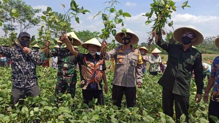 Budidaya Kacang Jepang di Banjarnegara, Masa Tanam Hingga Panen Cuma 70 Hari