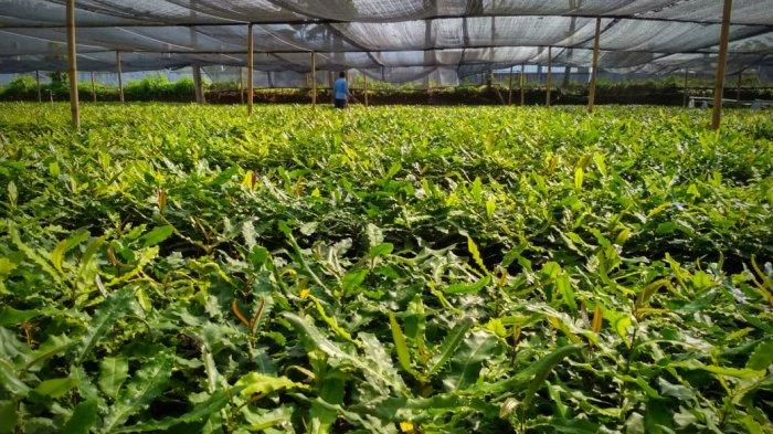 Kacang Termahal di Dunia Asal Australia Macadamia Dibudidayakan di Banjarnegara, Mau Bibitnya?