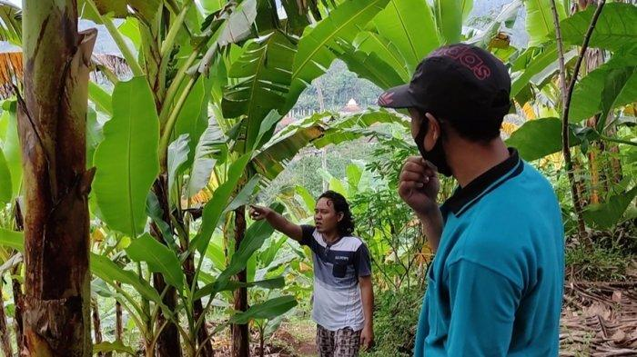 Alasan Solihin Sulap Ladang Salak Jadi Kebun Pisang, Produktivitasnya Kian Menurun di Banjarnegara