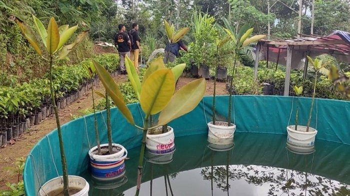 Bagaimana Jika Budidaya Mangrove di Air Tawar? Begini Hasil Eksperimen Warga Kalimendong Wonosobo