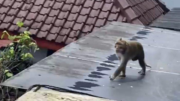 Penangkapan Monyet di Banjarnegara Masih Nihil, BKSDA: Itu Bukan Satwa Liar Tapi Ada Pemiliknya