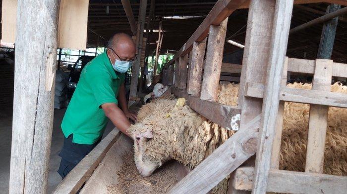 Seminggu Jelang Iduladha di Tegal, Peternak Kebanjiran Order, Banyak Pesan Via Online