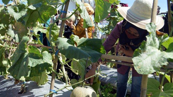 Luas Cuma 100 Ubin Bisa Hasilkan 2,5 Ton Melon, Begini Kagumnya Erna Husein di Karangcegak Banyumas