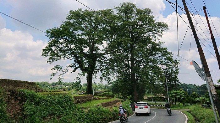 Pohon Randu Jajar di Desa Sikasur Pemalang, Selain Hits untuk Swafoto Juga Menyimpan Cerita Mistis