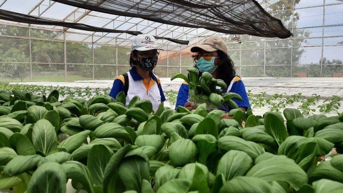 Berwisata Sambil Petik Buah dan Sayur? Agrowisata Purwosari di Mijen Kota Semarang Bisa Jadi Pilihan