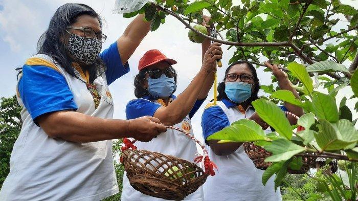 Pengunjung Agrowisata Purwosari memetik buah jambu kristal, Minggu (25/10/2020).