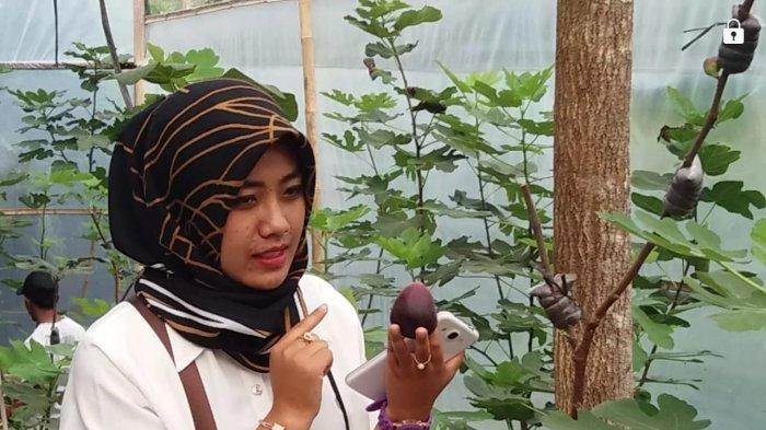 Petani Buah Tin di Wonosobo Mendulang Berkah di Bulan Ramadan