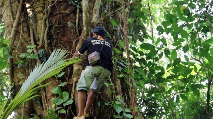 Viral Petai Raksasa di Hutan Banjarnegara, Distankan: Keluarga Fabaceae Tapi Tidak Layak Konsumsi